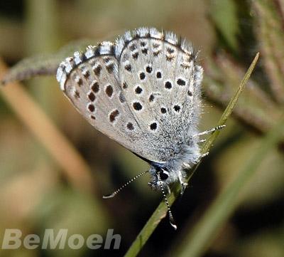 044-blaeuling-graublau