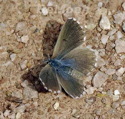 044a-blaeuling-graublaul