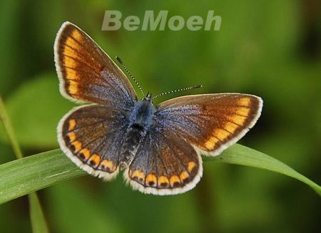 045-blaeuling-dunkelbraun-aricia_agestis