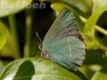 038a-zipfelfalter-gruen_suedlich