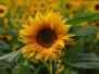 Blumen-Sonnenblumen