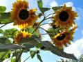 Riesen Sonnenblume