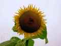 sonnenblume-022
