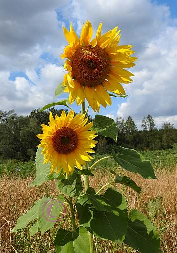 Sonnenblume im Doppelpack