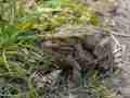 Erdkröten im Liebesrausch