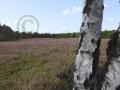 Heideblüte Kirchdorfer-Heide