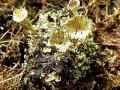 037-Cladonia-Flechten am Grund der Bleikuhlen