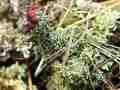 038-Cladonia-Flechten am Grund der Bleikuhlen