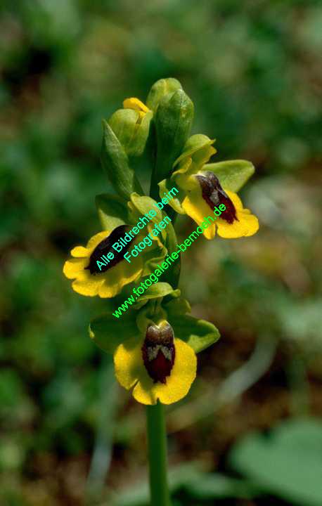 ragwurz-gelb_002