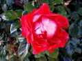 Rose-0005