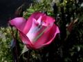 rosen-0032