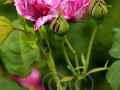rosen-0034