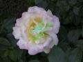 rosen-0039