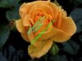 rosen-0043