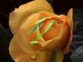 rosen-0049