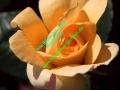 rosen-0050