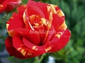 rosen-0171