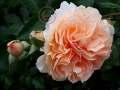 rosen-172