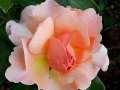 rosen-173