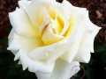 rosen-174