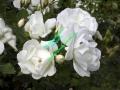 rosen-0015