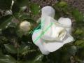 rosen-0016