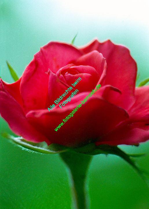 rosen-0002
