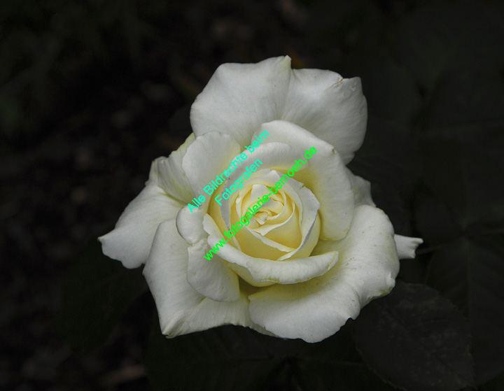 rosen-0017
