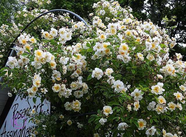 rosen-0020 Rosenring