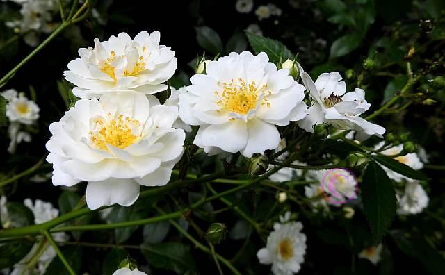 rosen-0021 Rosenring