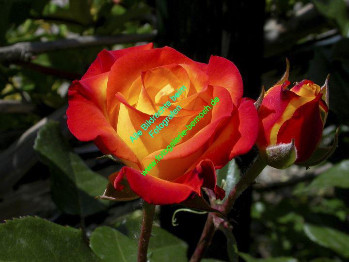 rosen-0028