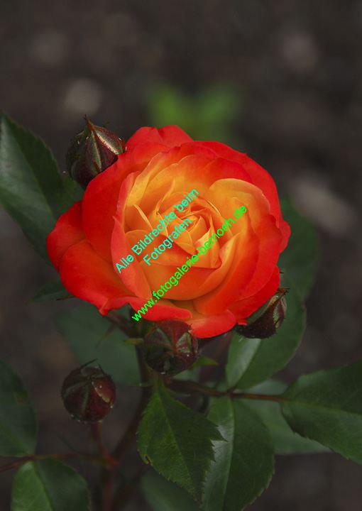 rosen-0030