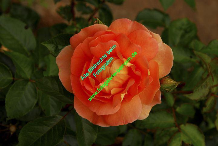 rosen-0035