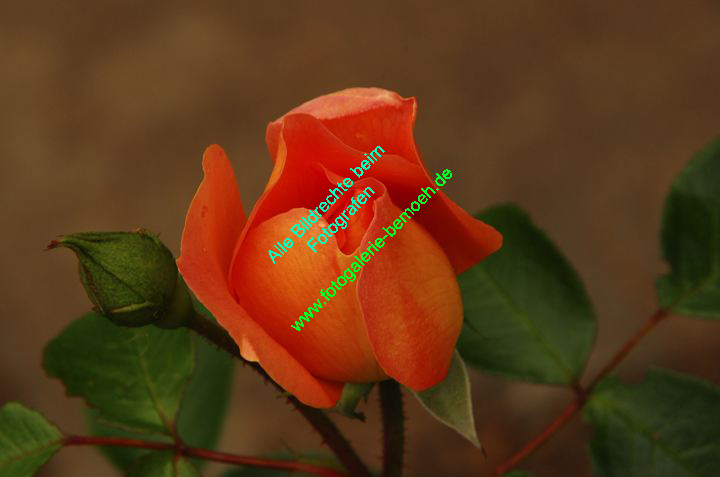 rosen-0036