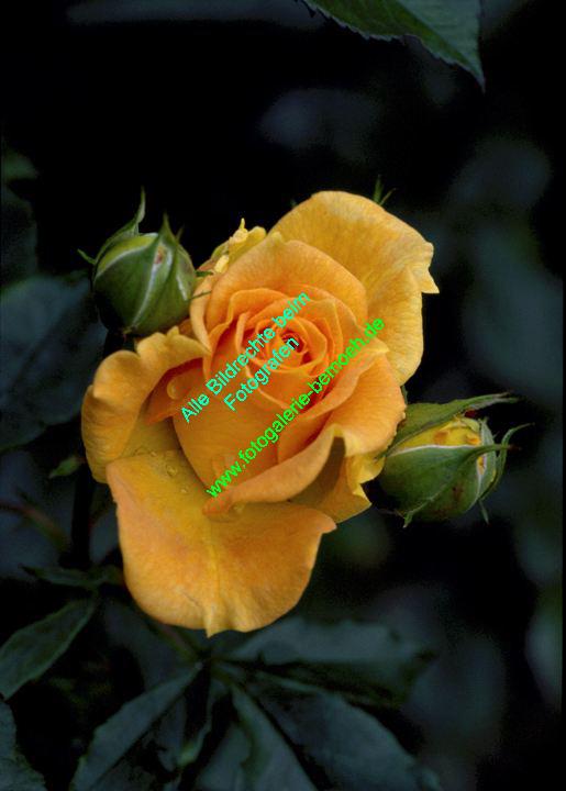 rosen-0042