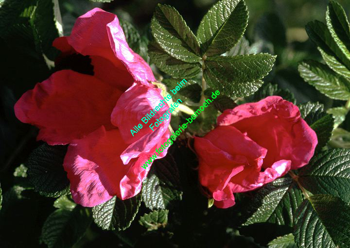 rosen-0065