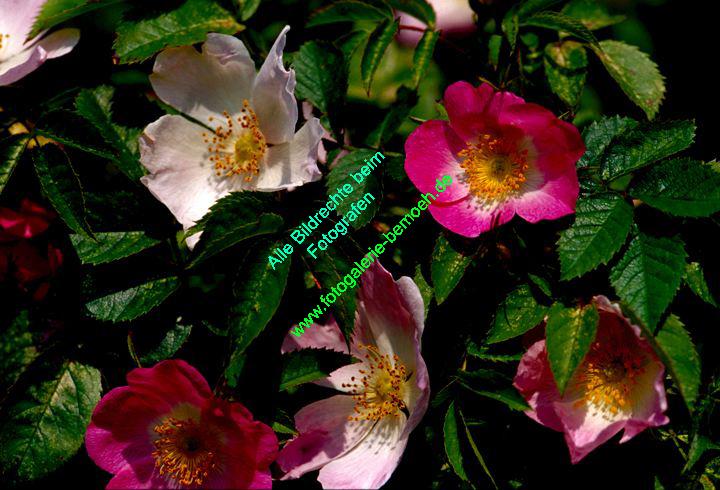 rosen-0071