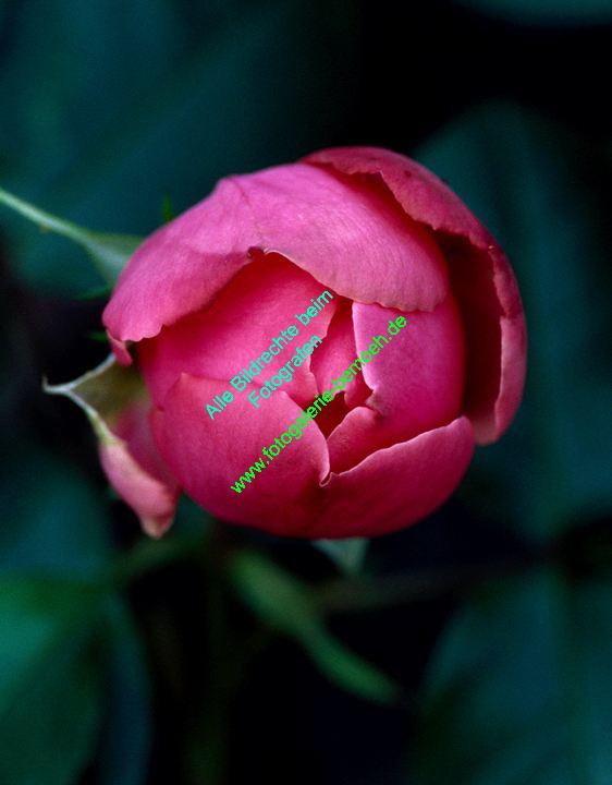 rosen-0093