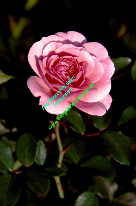 rosen-0095
