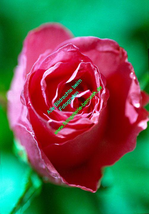 rosen-0099