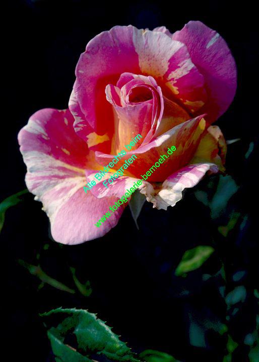 rosen-0104