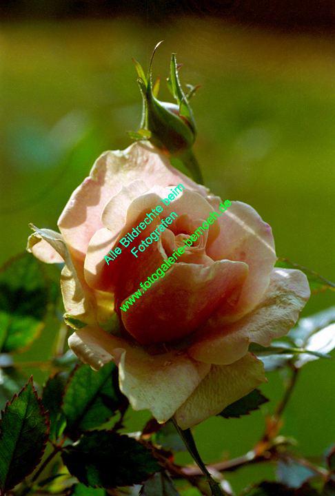 rosen-0105