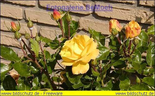 rosen-0106_JPG