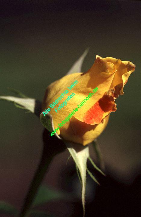 rosen-0125