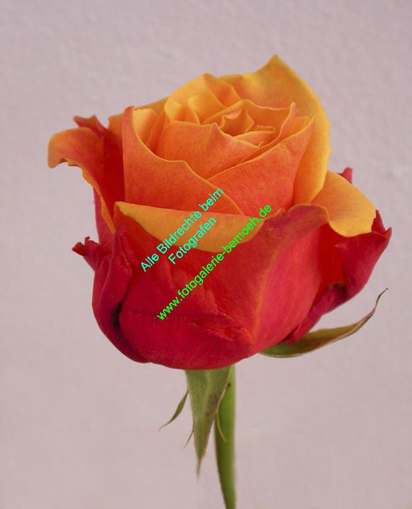 rosen-0131