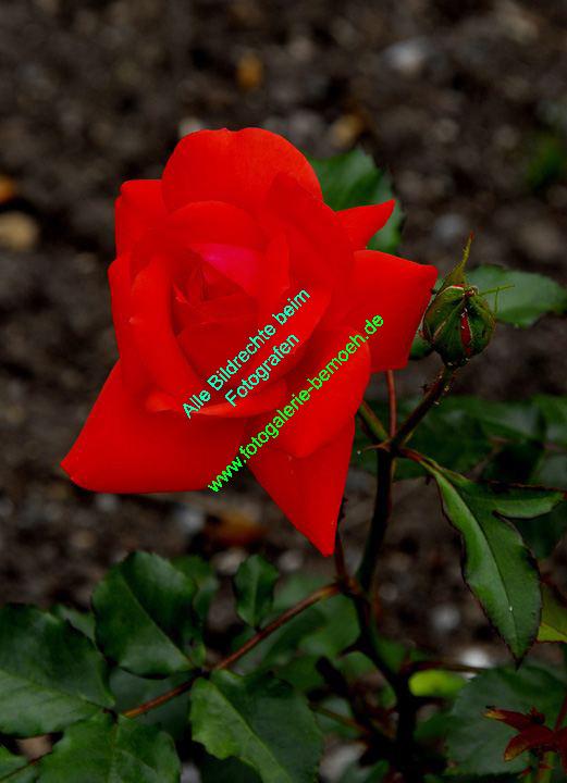 rosen-0135