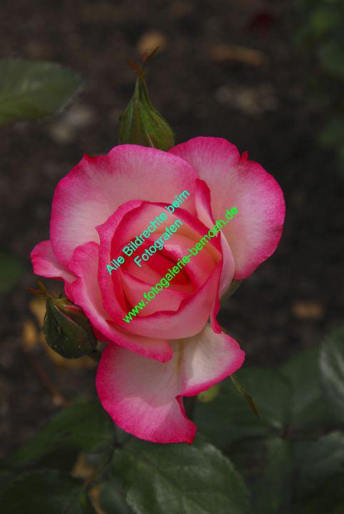 rosen-0136