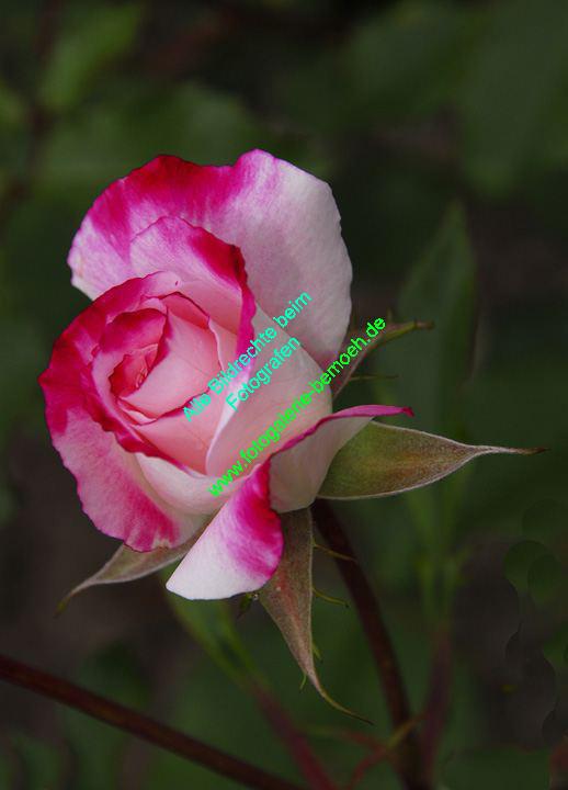 rosen-0137