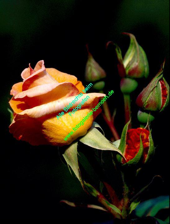 rosen-0148