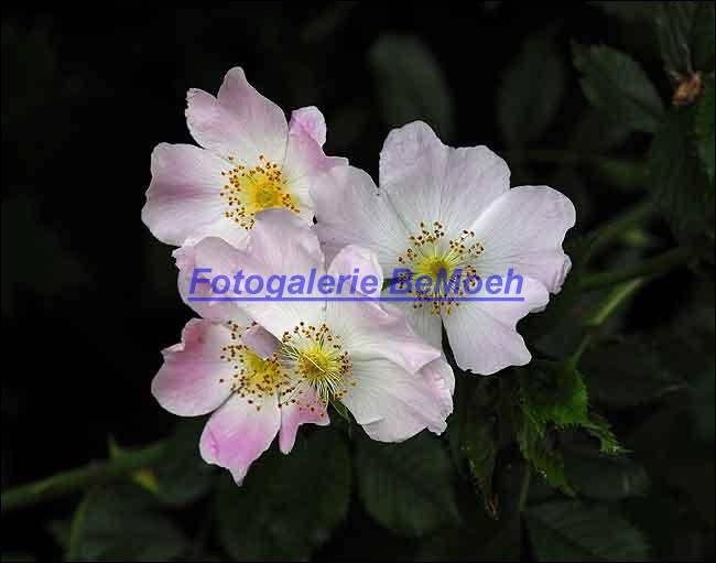 rosen-0155